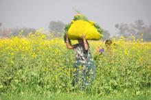 भारत में 65 से अधिक विभिन्न प्रकार के सरसों हैं. चित्र: CCAFS/Flickr.