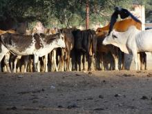 Cattle herds are increasingly vanishing from Nokha. Source: GOI Monitor
