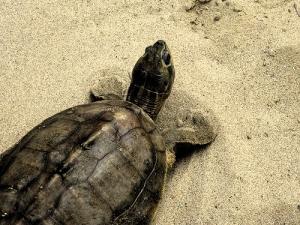 Sarnath turtle