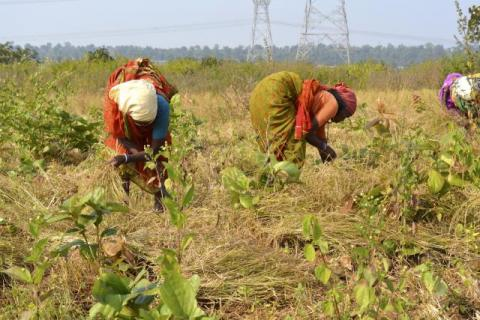 Women harvesting a small millet from the farm which was earlier infested with Lantana