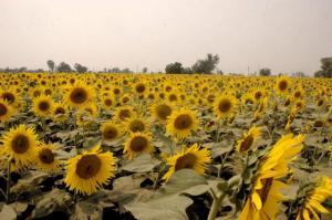Sunflowers grown using sewage waste.